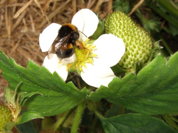 Erdhummel_Erdbeerblüte