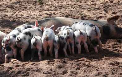 pet animals pig domestic pig